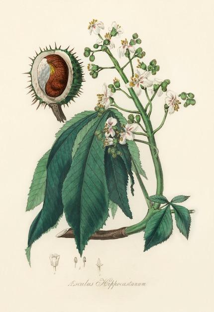 Europese paardenkastanje (aesculus hippocastanum) illustratie van medische plantkunde Gratis Foto