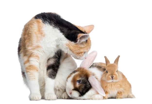 Europese shorthair-kat met konijnen die op wit worden geïsoleerd Premium Foto