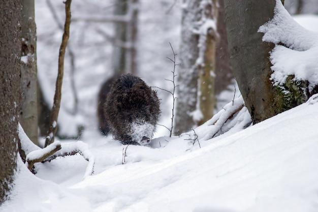 Everzwijn dat bos in diepe sneeuw in de winter doorneemt Premium Foto