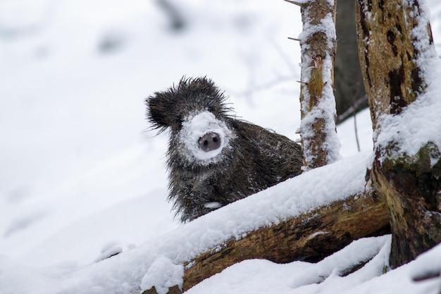 Everzwijn in de winter die uit met sneeuw op neus gluren Premium Foto