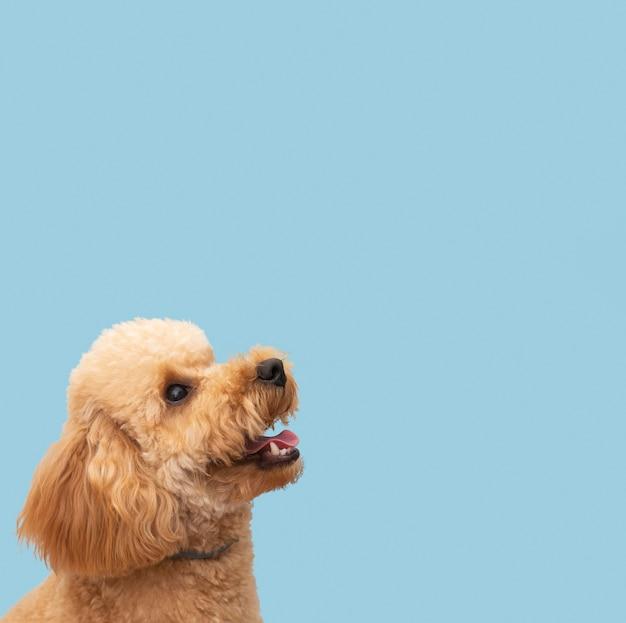 Exemplaar-ruimte binnenlandse schattige hond Premium Foto