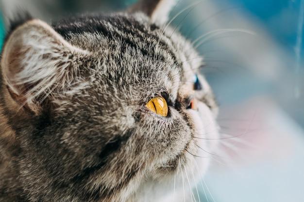 Exotische korthaar kattenras macro foto. close-up kat hoofd met oranje oog Premium Foto