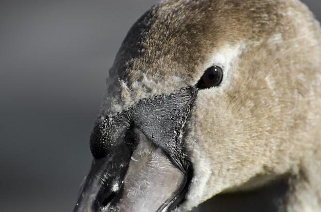 Extreme close-up van het hoofd van een zwaan Gratis Foto