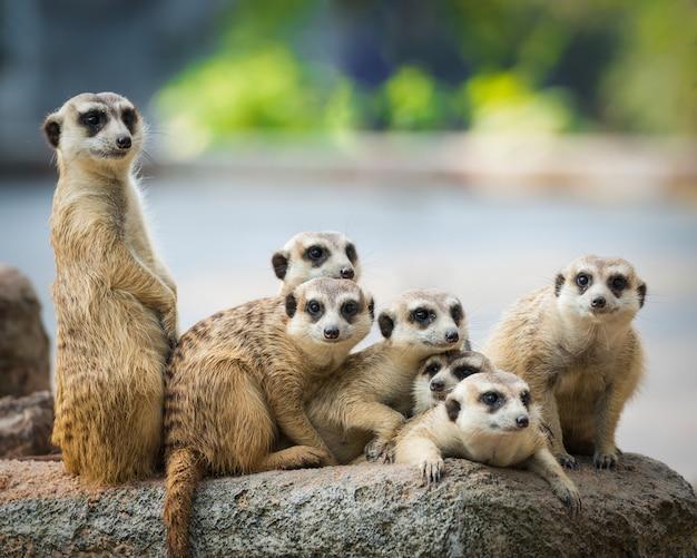 Familie van meerkats Premium Foto
