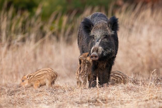 Familie van wilde zwijnen die zich op weide in de herfstaard bevinden Premium Foto