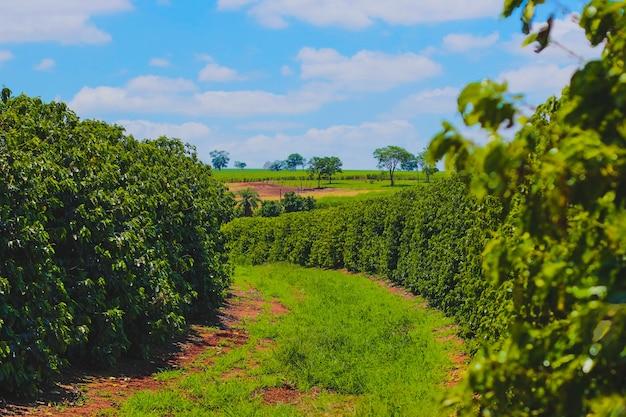 Farme van koffie-industrie Premium Foto