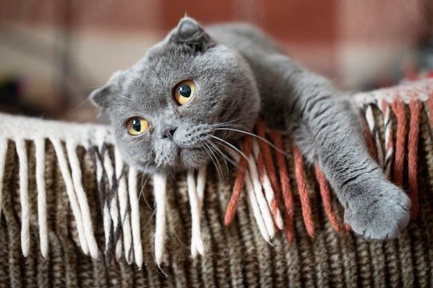 Felis catus sfs scottish fold kat, portret, liggend op de bank en vermist. close-up, zachte focus Premium Foto