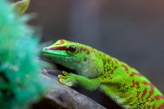 Felzuma madagascar of dag gecko giftige groene zittend op een boomtak in een terrarium in een dierenwinkel Premium Foto