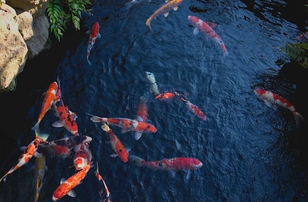 Karpers In Tuin : Fijne karper of koi vissen die bij een vijver in de japanse tuin