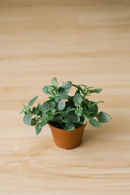 Fittonia donkergroen met witte strepen in een bruine pot op een beige achtergrond Premium Foto