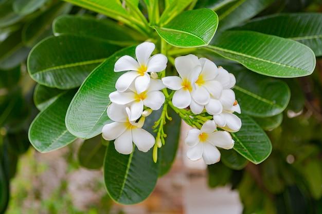 Frangipanibloemen sluiten omhoog mooie plumeria. Premium Foto
