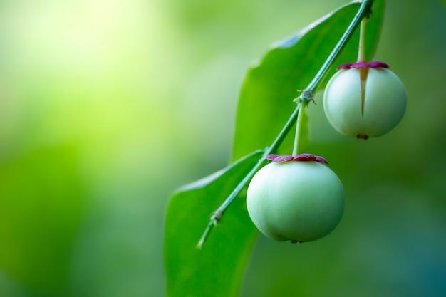 Fruit van melientha suavis pierre of sauropus androgynus op de boom en ochtendzon. Premium Foto