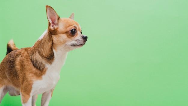 Gealarmeerde hond op groene exemplaar ruimteachtergrond Gratis Foto