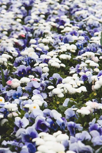 Gebied van blauwe pansies Gratis Foto