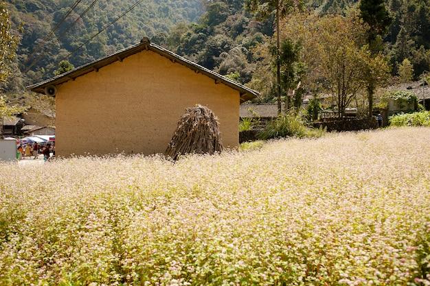 Gebied van boekweitbloemen in ha giang, vietnam. ha giang is beroemd om het wereldwijde geologische park van dong van karst plateau. Premium Foto