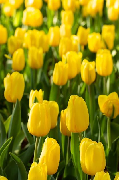 Gebied van gele tulpen in de lentedag. kleurrijke tulpenbloemen in tuin van de de lente de bloeiende bloesem. Premium Foto
