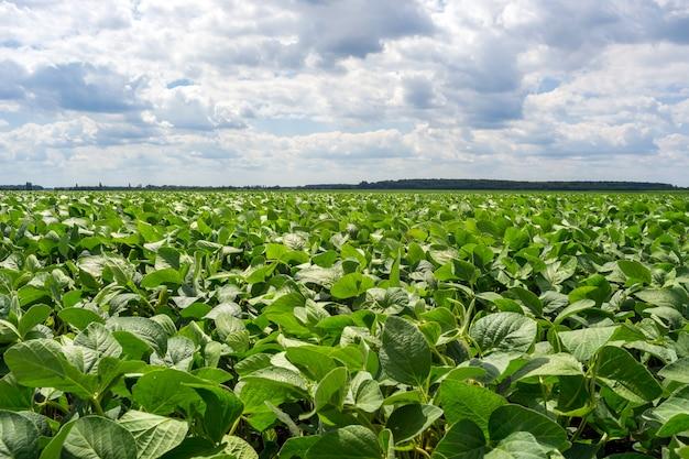Gebied van groene soja in de periode van bloei. schoon van ziekten en plagen, gezond Premium Foto
