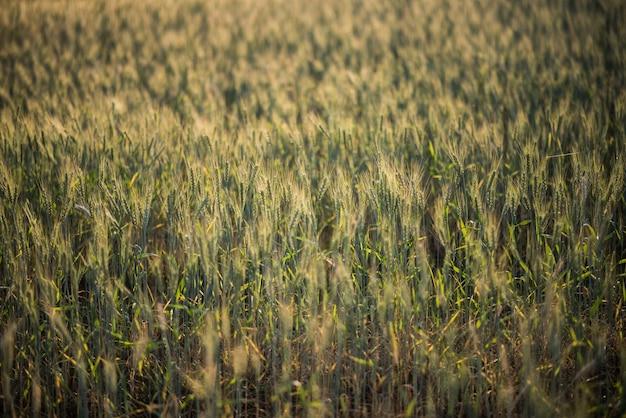 Gebied van tarwe boerderij Gratis Foto