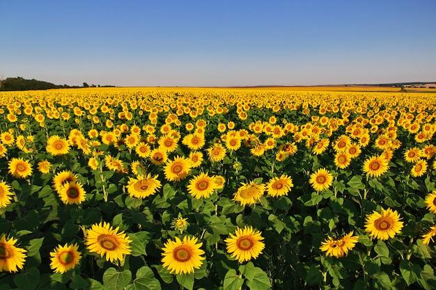 Gebied van zonnebloemen in bulgarije Premium Foto