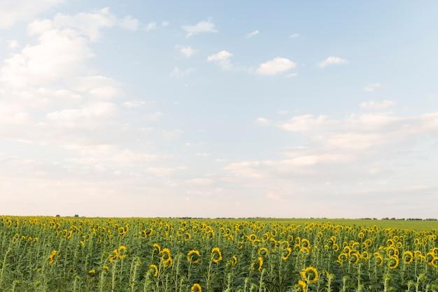 Gebied van zonnebloemeninstallaties met blauwe hemel in de zomer Gratis Foto