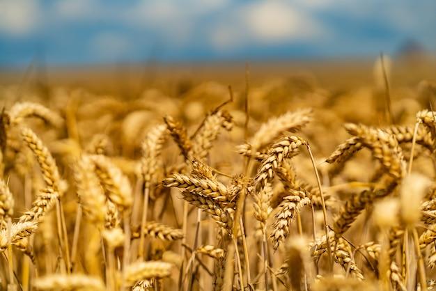 Gebogen stengels van tarwe rijpen op de zon in de zomer in het veld Premium Foto