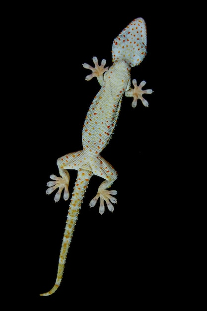 Gecko kruipt voor de raamspiegel, gecko op een zwarte achtergrond. Premium Foto