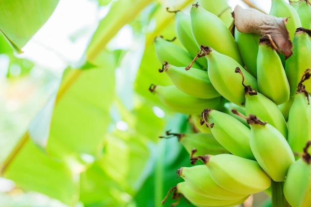 Gecultiveerde banaan, verse groene rauwe banaan op de boom. Premium Foto