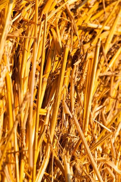 Gedraaide stapel stro van een mooie gele tint, verlicht door zonlicht in de zomer Premium Foto