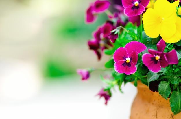 Geel en violet pansies in bloempot in tuin. ruimte kopiëren. lente en zomer concept. Premium Foto