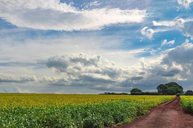 Geel groen soja veld, boerderij plantage op zomerdag met bewolkte hemel Premium Foto