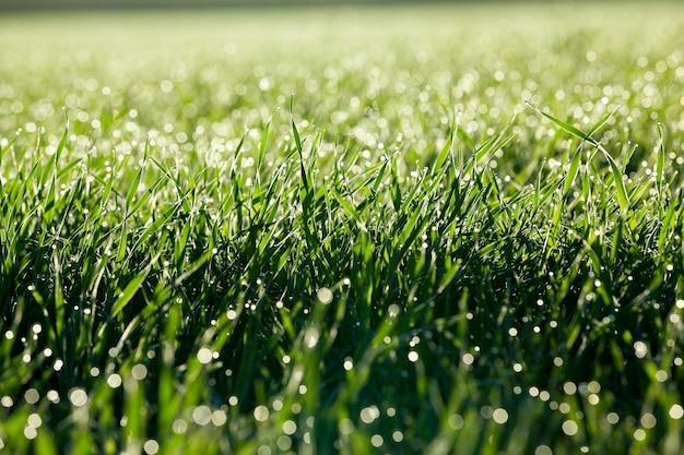 Gefotografeerd close-up jonge grasplanten groene tarwe groeien op landbouwgebied, landbouw, ochtenddauw op bladeren, Premium Foto