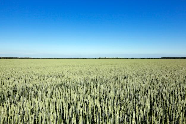 Gefotografeerd onrijp groen gras in de zomer, blauwe lucht Premium Foto