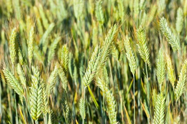 Gefotografeerde close-uporen van onrijpe groene tarwe, ondiepe scherptediepte Premium Foto