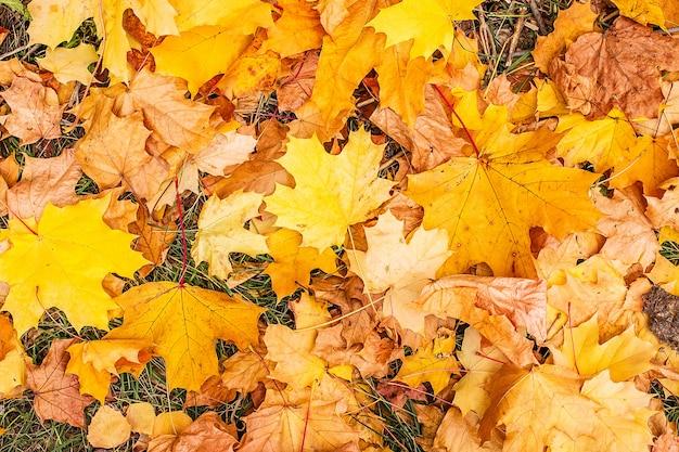 Gele bladeren in het park Premium Foto