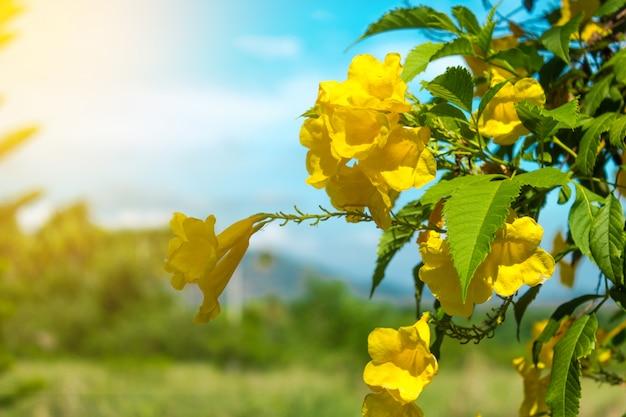Gele bloem en zonlicht met blauwe hemel. Premium Foto