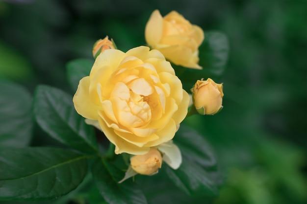Gele bloem van een variëteit aan rozen devtd austin met drie knoppen op een struik in de zomer in de tuin. Premium Foto