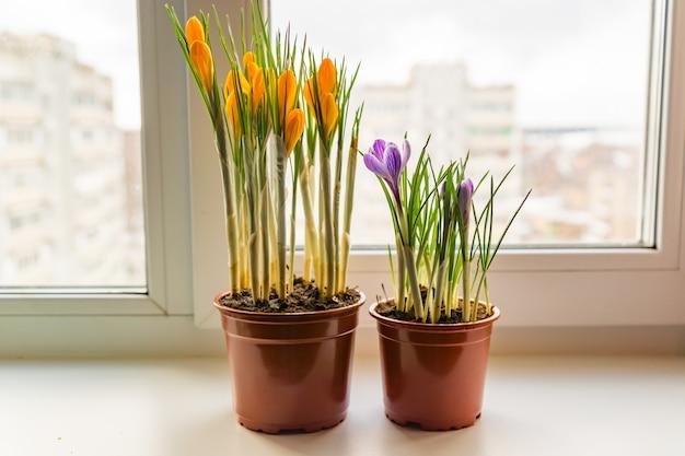 Gele en paarse krokussen in plastic pot op de vensterbank. lentebloemen, tuinieren Premium Foto