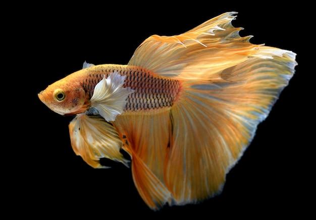 Gele gouden kleurrijke weifeling van betta saimese-vechtende vissen Premium Foto