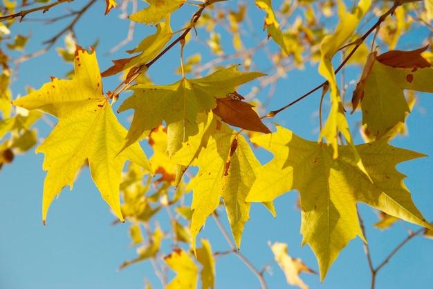 Gele herfstbladeren. Premium Foto
