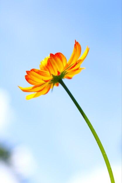 Gele kosmosbloem tegen blauwe hemel. Premium Foto