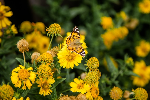 Gele kosmosbloemen en vlinder Premium Foto