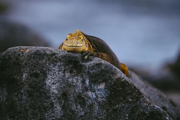 Gele leguaan op een rots die naar de camera met vage achtergrond kijkt Gratis Foto