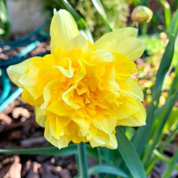 Gele narcissenbloem in tuin Premium Foto