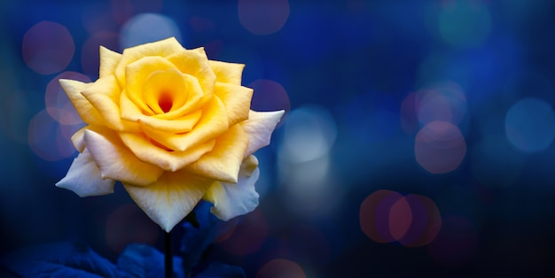 Gele roos licht bokeh blauwe achtergrond valentijnsdag Premium Foto