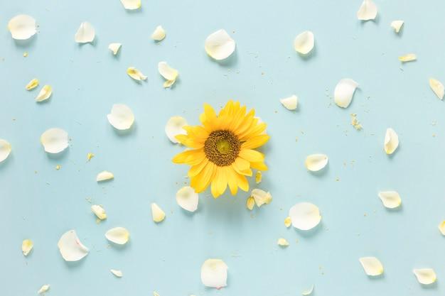 Gele zonnebloem die met witte bloemblaadjes op blauwe oppervlakte wordt omringd Gratis Foto