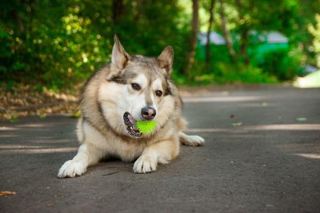 Gelukkig husky leugens en speelt met de bal. Premium Foto
