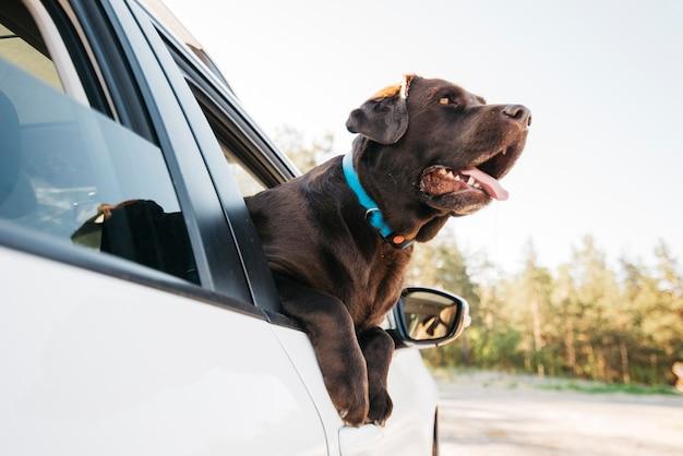 Gelukkige zwarte hond in auto Gratis Foto