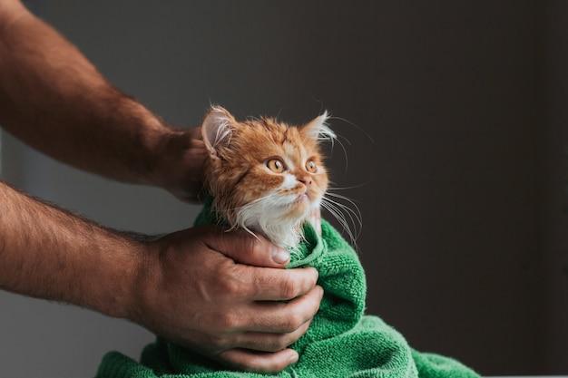 Gemberkatje na een douche in een groene handdoek wordt verpakt die. nat katje na het wassen in menselijke handen. Premium Foto
