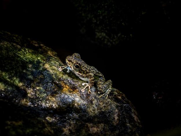 Gemeenschappelijke boomkikker of gouden boomkikker op rots dichtbij het kreekwater die van de bergstroom in een bos stromen. Premium Foto
