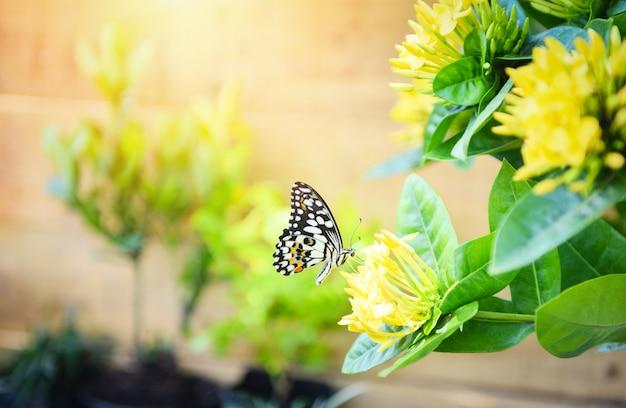 Gemeenschappelijke tijgervlinder op gele bloem ixora met zonlicht. insect vlinder bloem concept Premium Foto